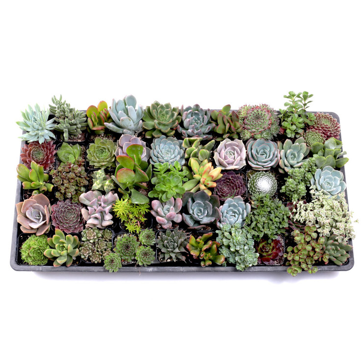 MCG Ultimate Succulent Sampler™ Tray - 2in Containers - 50 Varieties (50)