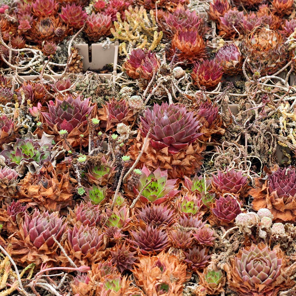 Your Semps Aren T Dead How We Revived These Sad Hardy Succulents Mountain Crest Gardens