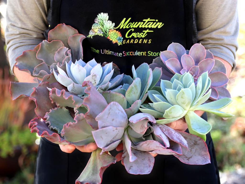 Succulent Cuttings
