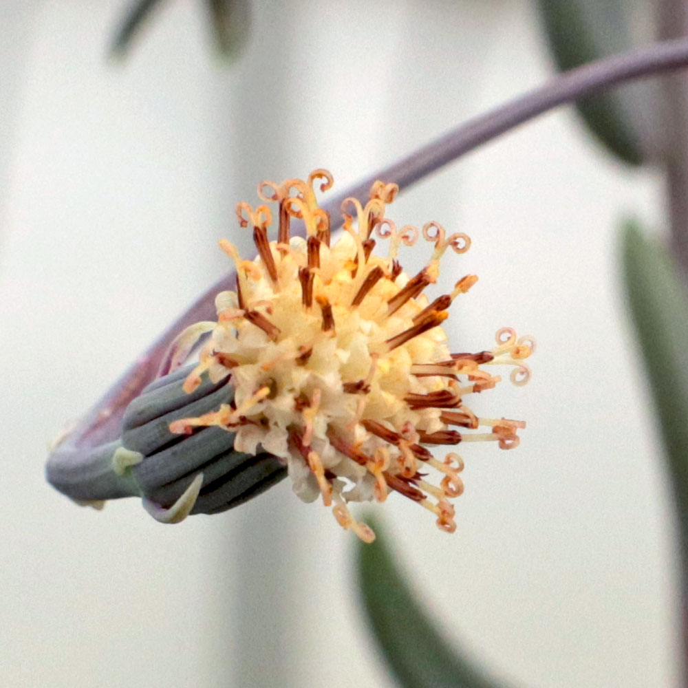 Dolphin Plant Flower
