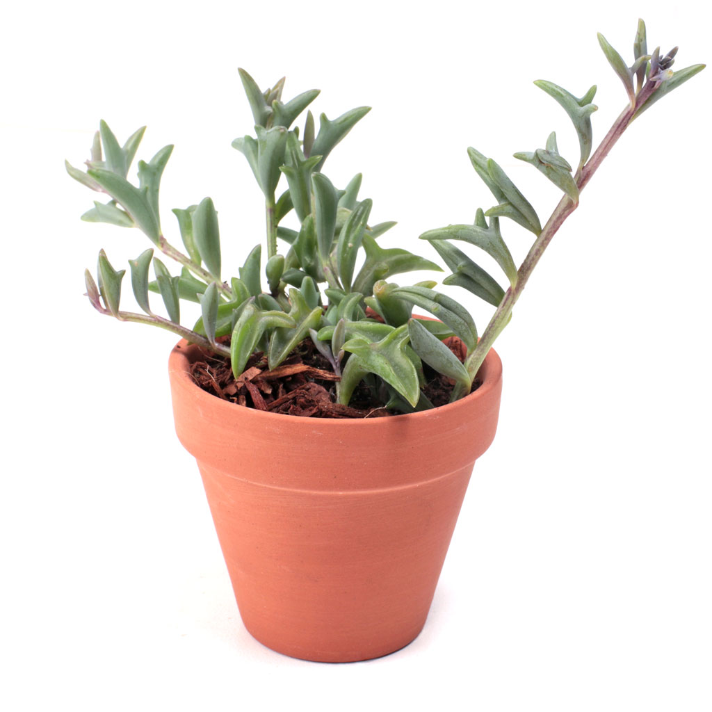 String of Dolphins Succulent Plant