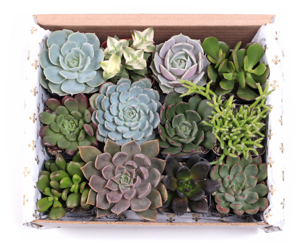 Soft Succulent Gift Box