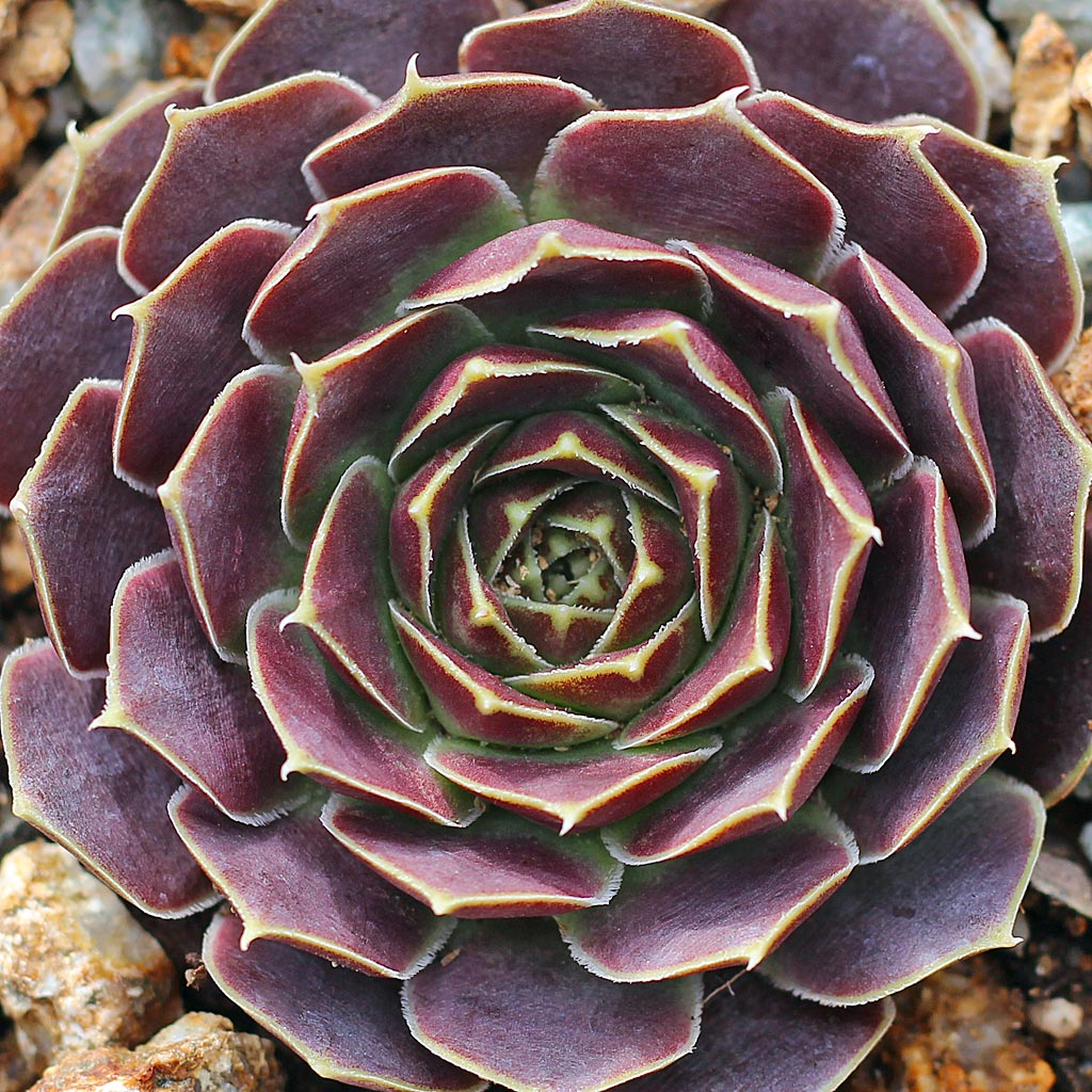 Sempervivum heuffelii 'Beacon Hill'