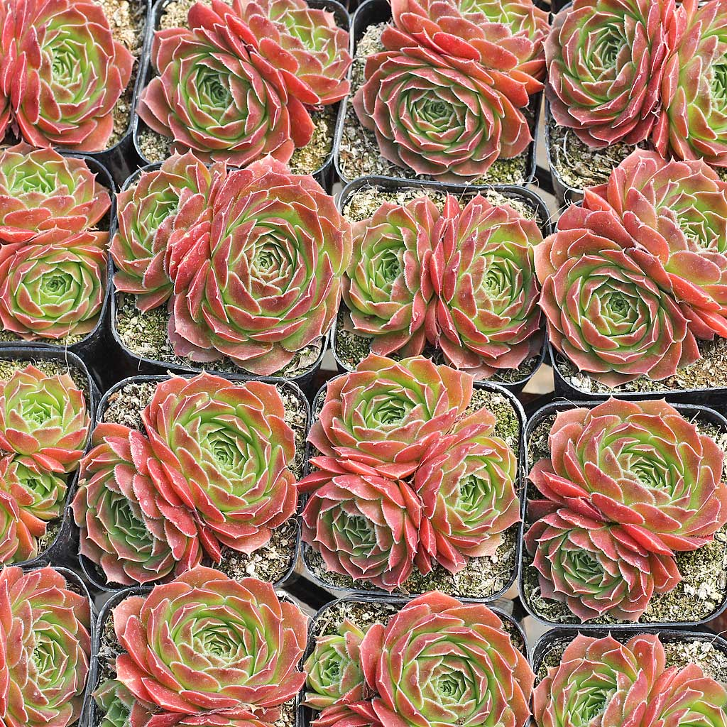 Sempervivum heuffelii 'Milady' with offsets
