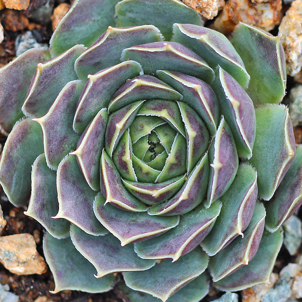Sempervivum heuffelii 'Perfection'