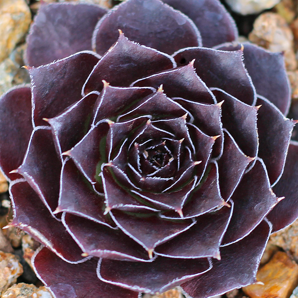Sempervivum heuffelii 'Red Heuff f/ Munich University'
