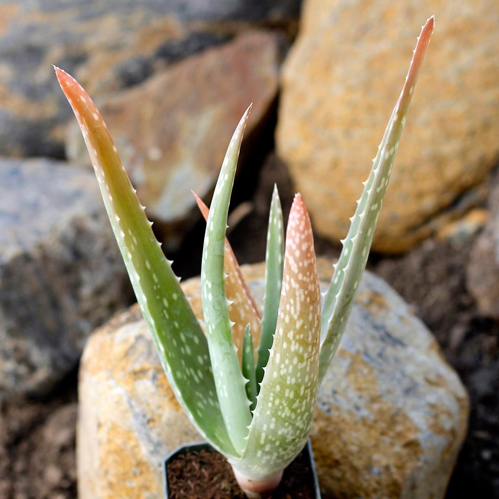 Aloe vera is toxic to pets