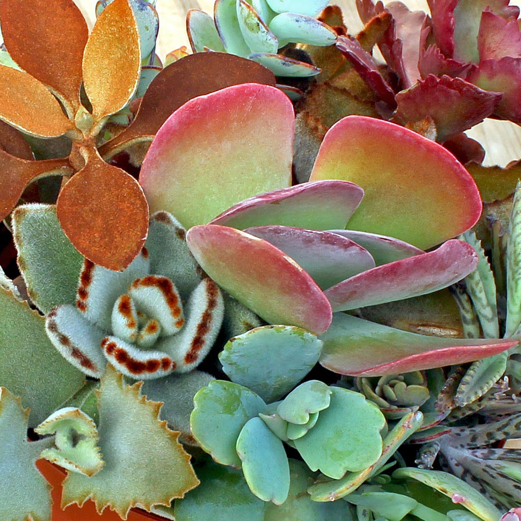 Kalanchoe species are toxic to animals