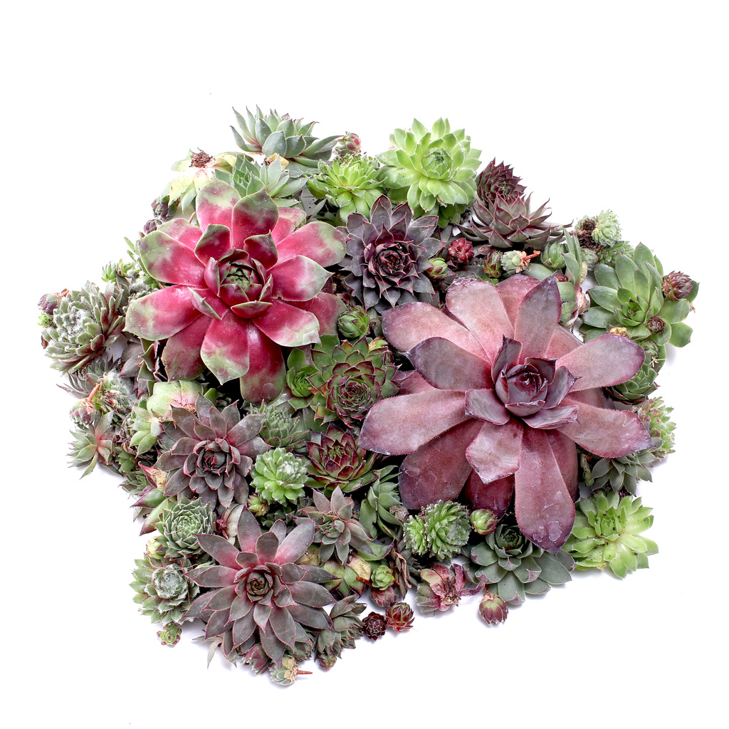Unrooted Sempervivum