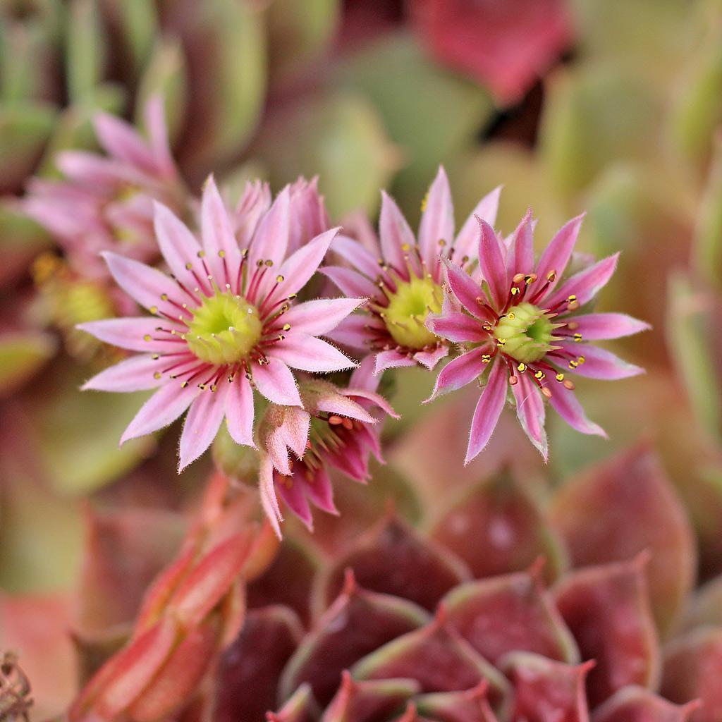 Sempervivum Blooms: A Visual Guide - Mountain Crest Gardens