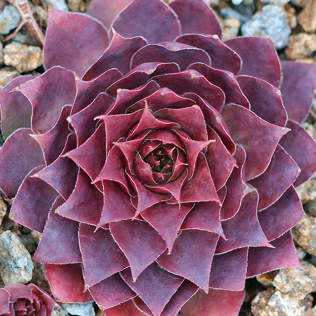 Sempervivum 'Somerwise'