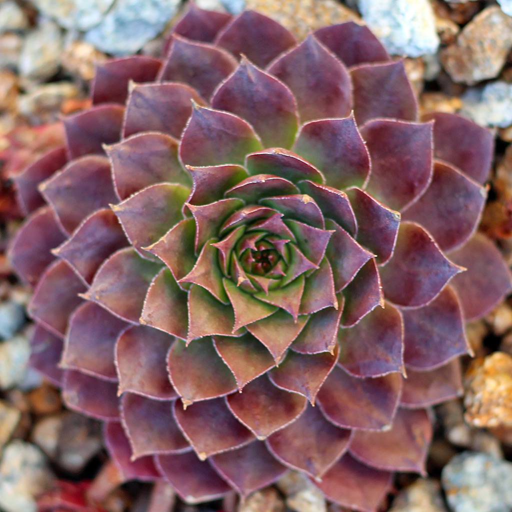 Sempervivum 'Stuffed Olive'