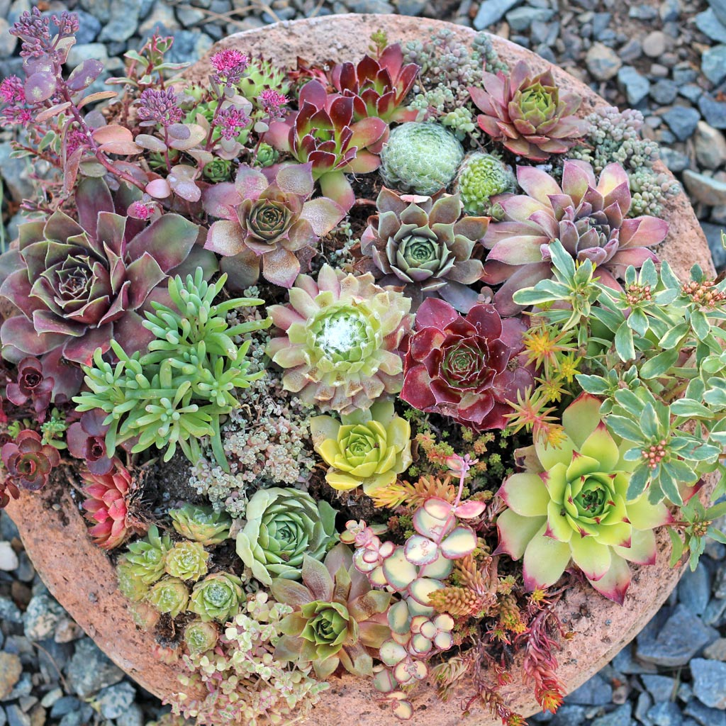 Too Much Sun For Hens And Chicks Here S What Happens Mountain