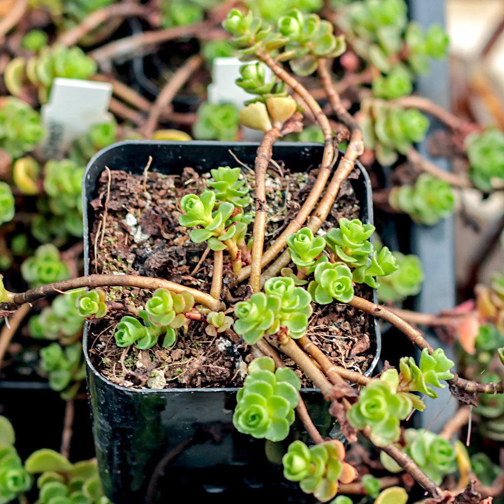Sedum spurium in winter