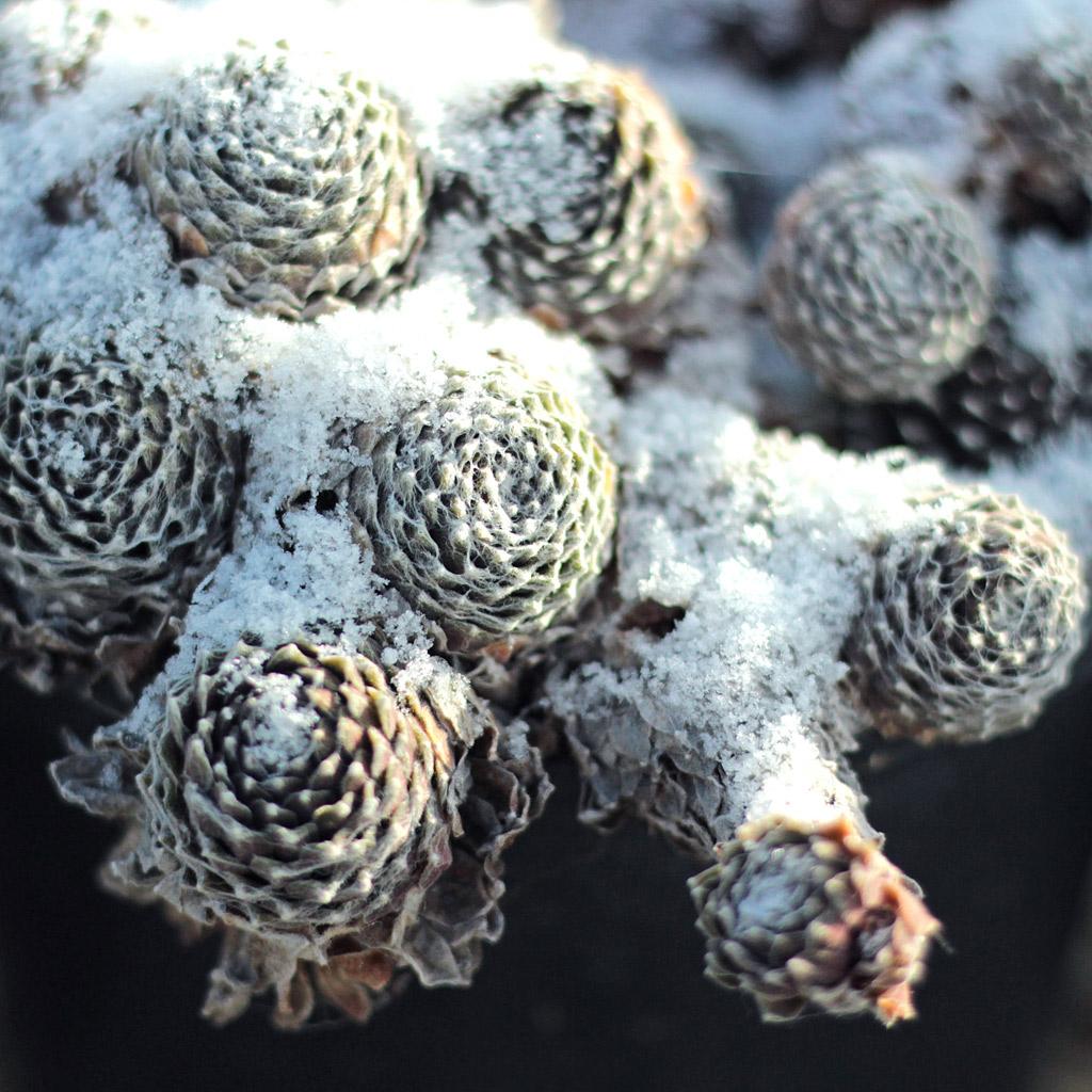 Hardy Sempervivum arachnoideum