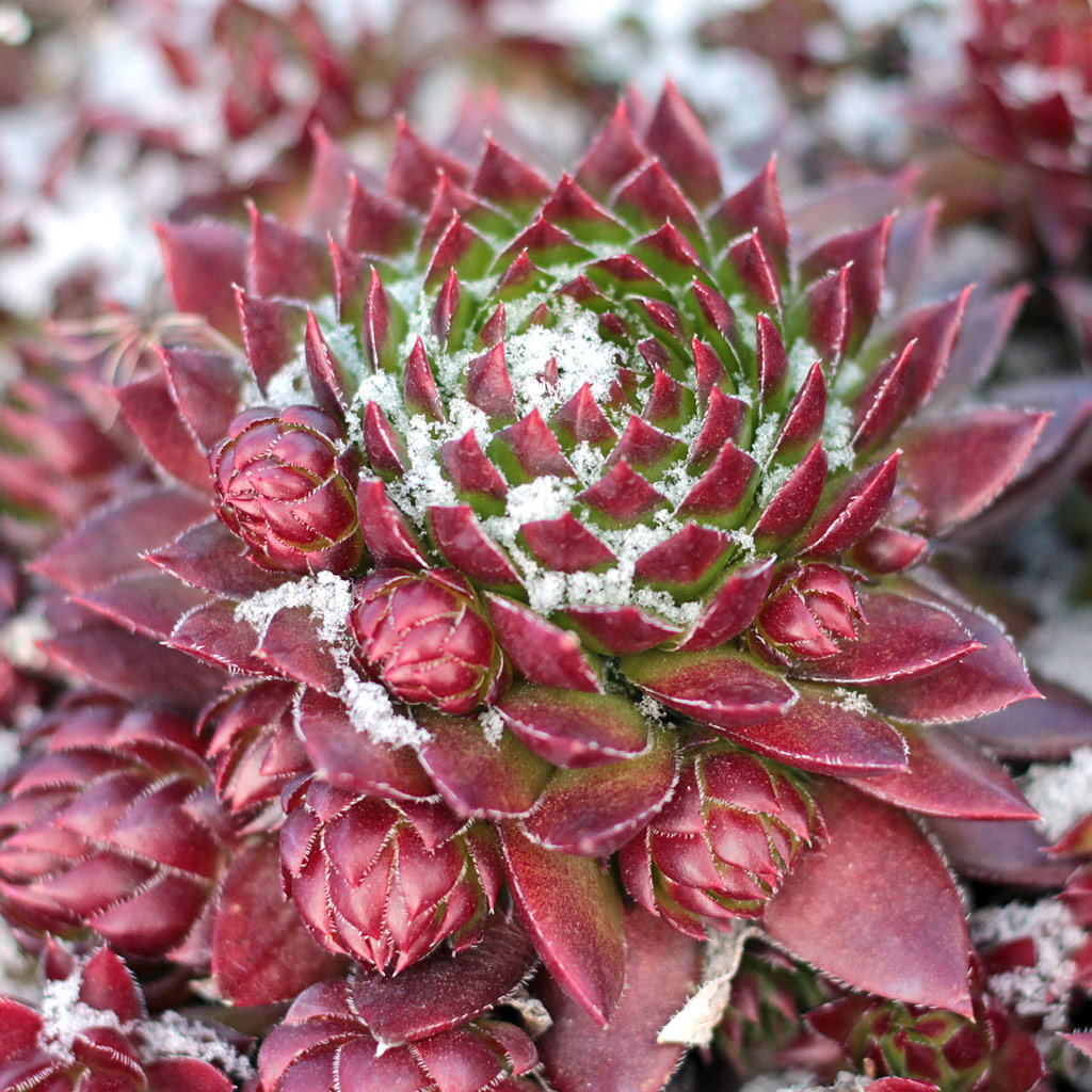 How Winter Cold Affects Your Succulents